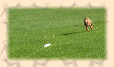 Cirneco lure coursing