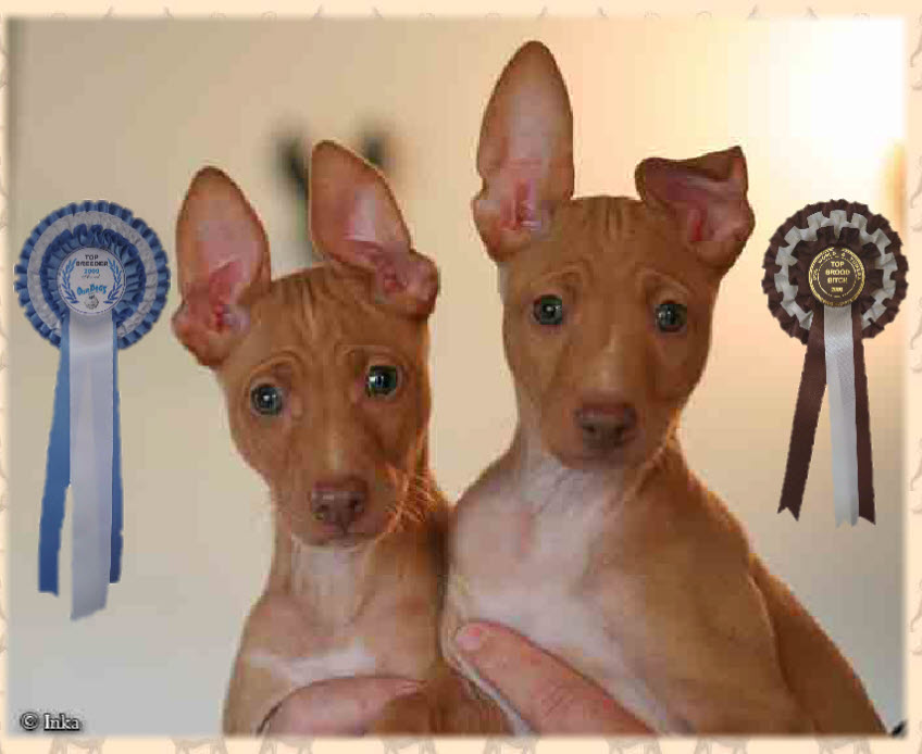 Pharaoh & Cirneco Hounds